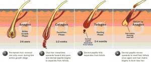 Ciclul de crestere a parului
